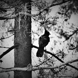 Dark Jay by Shane Lusk - Novices Only Wildlife ( idaho, bird, rexburg, lodge pole, pine, jay )
