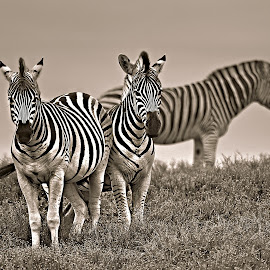 Zebra trio by Pieter J de Villiers - Black & White Animals