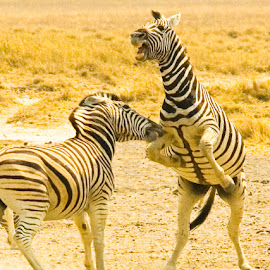 Take that! by Mike O'Connor - Animals Horses ( bite, fight, horse, striped, namibia, zebras,  )