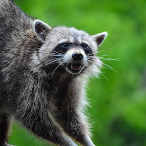 Raccoon Smile  by Tiffany Serijna - Animals Other Mammals ( wild, coon, wildlife, backyard, raccoon, cute, pesky, woods, outside, animal,  )