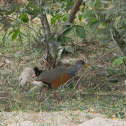 Grey-necked Wood-Rail  ::: chilaca