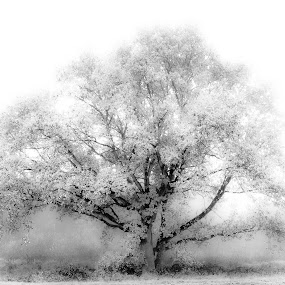 The Tree by Teus Renes - Nature Up Close Trees & Bushes ( tree, fog, white, infrared., mist )