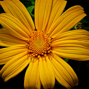 yellow #3 by Ian Reducer - Nature Up Close Flowers - 2011-2013
