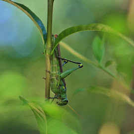 Locust by Terry Linton - Animals Insects & Spiders