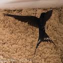 Barn Swallow; Golodrina Común