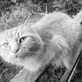 Rusty by Angie Keverne - Animals - Cats Portraits ( fence, cat, black and white, pet, garden,  )