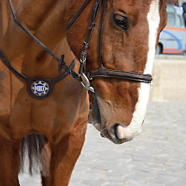 A Horse Policeman. by Marcel Cintalan - Animals Horses ( police, tourists, horse, versaille, france,  )
