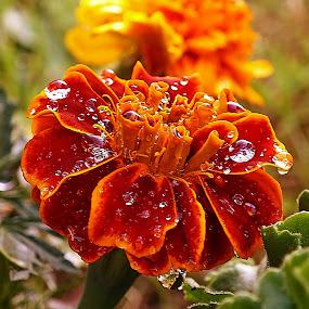 Aksamitník by Vláďa Lipina - Flowers Tree Blossoms