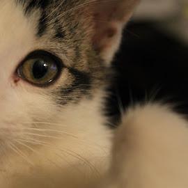 AJ by Carlito Rivera - Animals - Cats Portraits ( cat, aj, cooldude, kitty, eyes,  )