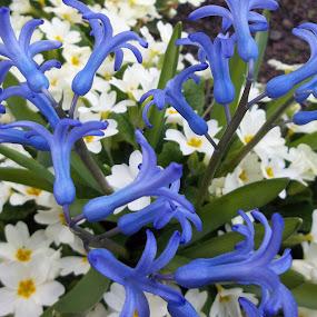 Цветя by Georgi Kolev - Flowers Flower Gardens ( цветове., светлина., зюмбюл, иглика., време. )