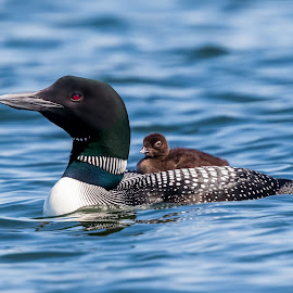 Loon with Baby by Carl Albro - Animals Birds ( bird, waterfowl, baby, loon, belgrade maine lakes area,  )