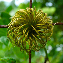 Clematis Seed Pod by Jane Spencer - Nature Up Close Other Natural Objects ( fence, seed pod, clematis, vine, summer, rust )