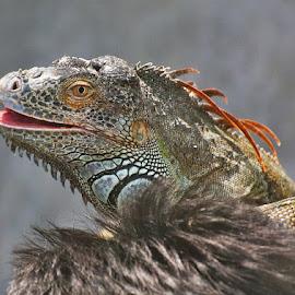 chameleon by Ravi Shankar - Animals Reptiles ( reptile photos, reptiles, water animals, ravishankar photography, reptile, chameleon )