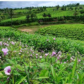 tea plantation by Nopri M - Landscapes Prairies, Meadows & Fields