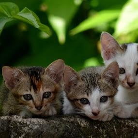 ---- 3 ---- by Elvis Hendri - Animals - Cats Kittens ( playing, cats, pets, kittens, natural, animal )