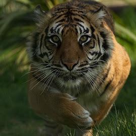 Tiger charge  by Steven Colton - Uncategorized All Uncategorized ( tigress, tiger, charging tiger )