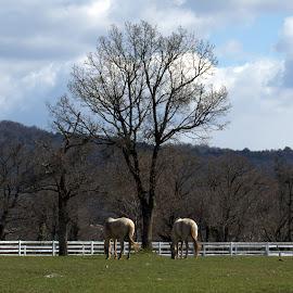 A couple of Lipizzani by Riccardo Schiavo - Animals Horses