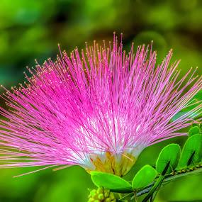 Furry Flower by Joan Sharp - Flowers Single Flower ( green backdrop, mimosa, pink, flowers, soft,  )