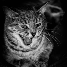 by Sue Magoon - Animals - Cats Portraits (  )