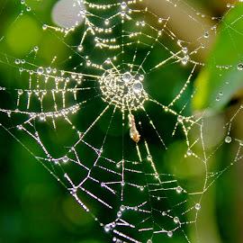 WetWeb by Cecilie Hansteensen - Nature Up Close Webs ( summer, web, spider, rain, norway,  )