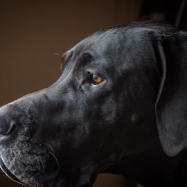 Watch Em by William Boyea - Animals - Dogs Portraits ( dog portrait, great dane )