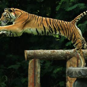 Jump..Jump by Rakhman Matsunaga Stavolt - Animals Lions, Tigers & Big Cats