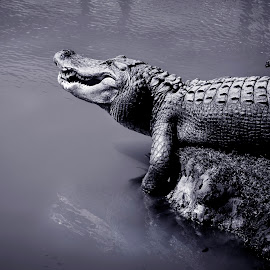 Gator by Jim Oakes - Animals Reptiles ( black and white, bany, gator, pond, sun )