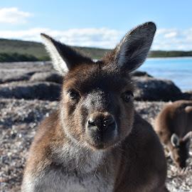 face to face by Jessica Mega - Animals Other ( face, animals, kangaroo, australia, beach )