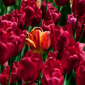interloper by Zoran Mrđanov - Flowers Flower Gardens (  )
