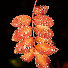 Leaf. by Denton Thaves - Nature Up Close Leaves & Grasses ( raindrops, leaf, mountain ash )