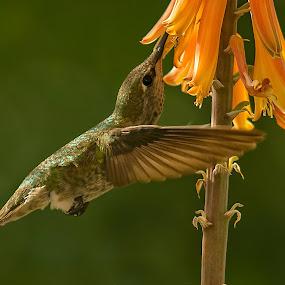 Nectar by Dave . - Animals Birds ( bird, flight, hummingbird, wildlife, flower )