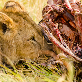 Beast with a feast by Praveen Chandra - Animals Lions, Tigers & Big Cats ( lion, subadultlion )