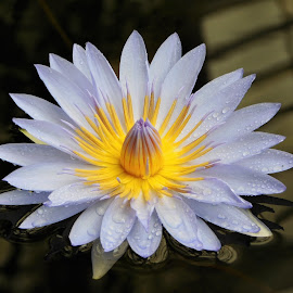 Lightbulb Lily by Kristina Woodward-Roth - Flowers Single Flower ( water, lily, drops, white, yellow )