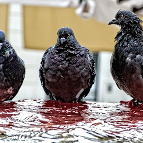 Talk to the fountain by Borna Cuk - Uncategorized All Uncategorized ( pigeons, rijeka, ptica, birds, animal )