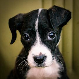Bennett by Myra Brizendine Wilson - Animals - Dogs Portraits ( canine, pet, bennett, dog )
