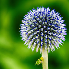 Globe Thistle by Elliot Mednick - Flowers Single Flower ( globe thistle, thistle, single flower, nature close up, flower,  )