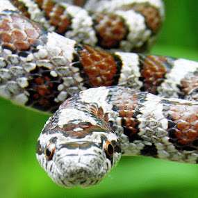 baby milk snake by Elizabeth Sztejner Skillings - Animals Reptiles ( reptiles, macro, animals, snakes, close up )