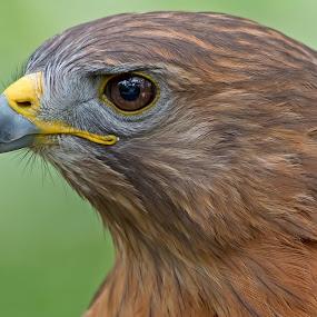 by Shelly Wetzel - Animals Birds ( bird of prey, red-tailed hawk, raptor )