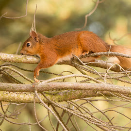 Just Chilling by David Wilson - Animals Other Mammals ( red, small mammals, trees, woodland, squirrel )