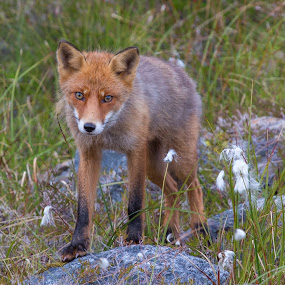 Fox by Benny Høynes - Animals Other ( canon, fox, courious, landscapes, norway, animal )