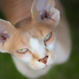 Sphynx cat by Allan Wallberg - Animals - Cats Portraits