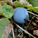 Bog Blueberry