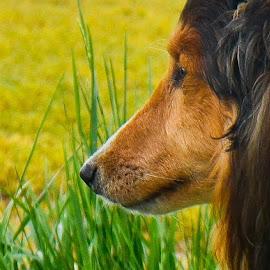 A Sunny Meadow. by Tim Hall - Animals - Dogs Portraits ( shetland sheepdog, sheltie close up, sheltie )