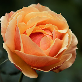 Rose 9986 by Raphael RaCcoon - Flowers Single Flower