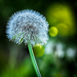 Glowing Weed by Nancy Merolle - Nature Up Close Other plants ( nature, plant, weed, lawn, lensbaby, dandelion )