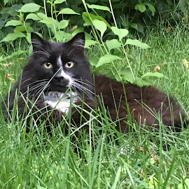 Tuxedo Cat in the Grass by Kristine Nicholas - Novices Only Pets ( cat, kitten, grass, black and white, green, tuxedo cat, eyes, cats, black and white cat, tuxedo, pet, pets, feline, kitty, black )