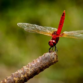 by Sudharshun Gopalan - Animals Other ( macro, dragon fly, red, gopalan, sudharshun, india, chennai )