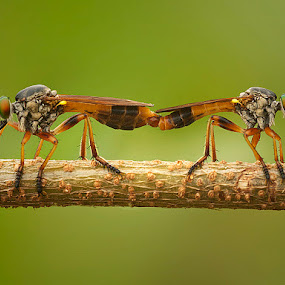 Mini Mating by Prana Jagannatha - Animals Insects & Spiders ( macro, wildlife, insect, robberfly )