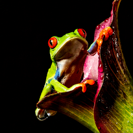 Tree frog by Garry Chisholm - Animals Amphibians ( sigma, nature, amphibian, macro workshop, red eyed tree frog, canon, garry chisholm )