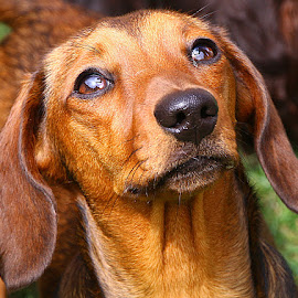 Looking Up by Chrissie Barrow - Animals - Dogs Portraits ( smooth, mouth, pup, young, portrait, eyes, red, pet, dachshund (miniature smooth), ears, fur, puppy, dog, nose, tan, coat )